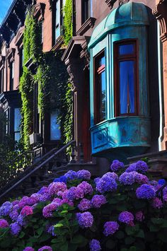 NYC. Brooklyn brownstones with hydrangas and ivy.