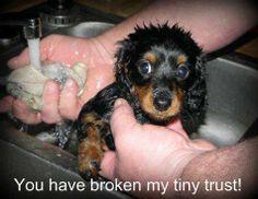 tiny trust! baths, anim, puppies, dogs, puppi upset, dachshund, stinki dog, 1st bath, bath time