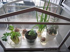 Fun plant science observations project for kids. Regrow veggies.  (Jen- summer science!) plant activ, fun plant, plant scienc, kid