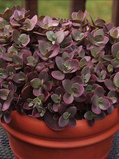 Perennial Results: Plant View - Sedum 'Cherry Tart' PPAF