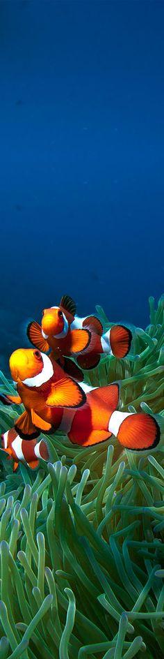 ~clown fish~