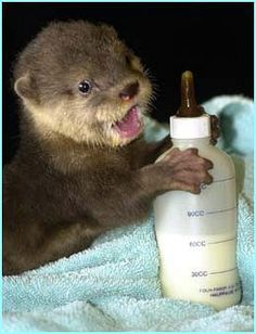 Baby otter drinking from a bottle. Might be the cutest thing ever