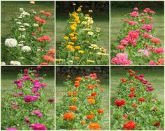 zinnia benari, giant zinnia, zinnias, giant seri, gardens, beauty, benari giant, leo blog, cut flower
