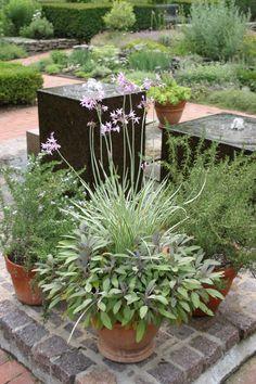 Variegated society garlic (Tulbaghia violacea 'Variegata', and purple garden sage (Salvia officinalis 'Purpurascens' -