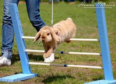 There's a competition in Sweden called Kaninhoppning, or rabbit show jumping. | The 30 Happiest Facts Of All Time