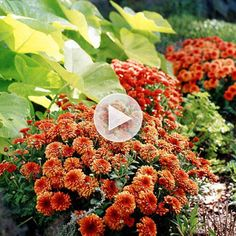 Make mums a focal point in your fall landscape! Learn how: http://www.bhg.com/videos/m/32071785/fall-mums.htm