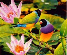 Rainbow Finches