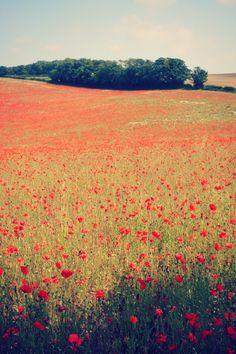 #poppy, fields of flowers, sea of red