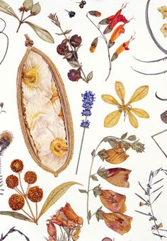 Rachel Pedder-Smith. Herbarium Specimen Painting