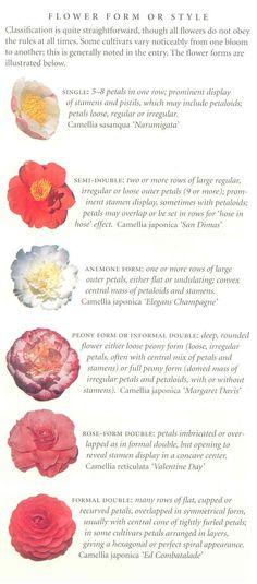 plant, camellia form, style identif, camellia style