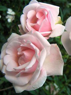 Rosa 'New Dawn' Tegen de regenpijp in vak 4