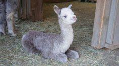 Baby alpaca ... cute cute cute!!! | Living the Country Life | http://www.livingthecountrylife.com/photos/animals/life-good/