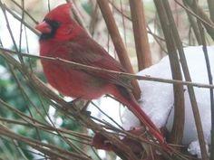 Red Bird in the winter snow