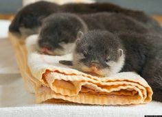 Baby otters.  Could they be any cuter?!?!
