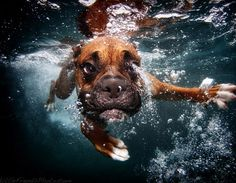 underwater dogs- Boxer