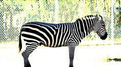 contrast zebra