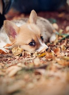 Those corgi eyes... it can't get much cuter than that!