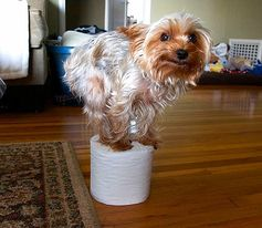 Frisco, one of my three pups. Full time pinner, part time toilet paper roll balancing machine