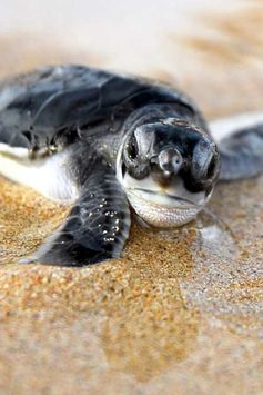 Baby Sea turtle #ocean #animals