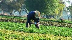 Lorsque le fermier rassure ses cultures et la terre...