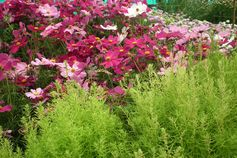 File:Cosmos flower at lalbagh 7074.JPG - Wikimedia Commons Yes we have Lime Green and Reds Here
