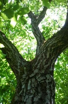 Walnut Tree.