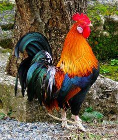 le coq de la France, french rooster?
