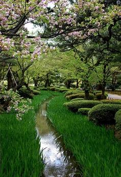 Kikusakura is a sort of Cherry blossoms.It has about 100~200 petals.  At Kenroku-en Garden,Kenroku-en is considered one of the Three Great Gardens of Japan.  Kanazawa,Ishikawa-pref,Hokuriku region,Japan.