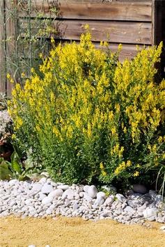 Genista tinctoria 'Royal Gold'    Dyer's Greenweed