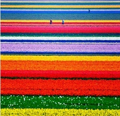 Holland's tulip fields