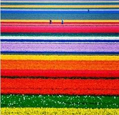 Holland's tulip fields