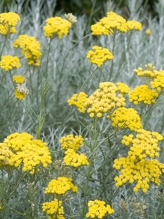 Helichrysum italicum  On warm days, this striking silver-foliaged plant exudes a strong curry scent, but is little use as flavoring except perhaps as a garnish on steamed rice. It is easy to propagate from semi-ripe cuttings in the fall and makes a good edging plant.