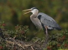 Great Blue Heron | National Audubon Society Birds. Identified on the Belize River in January 2014.