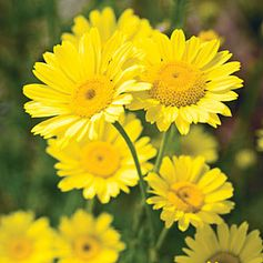 """Golden Marguerite"" Anthemis tinctoria"