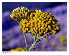 Smilje (Helichrysum italicum L)