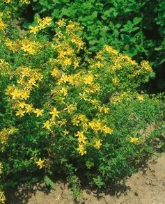 St. John's Wort Seeds - Hypericum Perforatum - .05 Grams - Approx 400 Gardening Seeds - Herb Garden Seed by Generic Seeds. $2.59. Days Until Harvest: 85. .05 Grams: Approx 400 Seeds. Germination Rate: 85% - Purity: 99% - Country of Origin: USA. Hypericum perforatum. Generic Seeds: The Same High Quality Seeds Made By Mother Nature Just in Cheaper Packaging. St. John's Wort has long been used as a medicinal herb and for herbal teas. The plant can grow up to 2 feet tall.