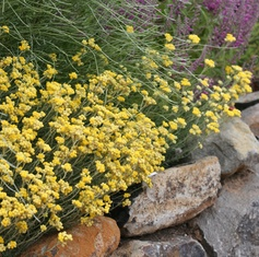 """Helichrysum italicum """"Curry Plant"""" for the herb garden"""