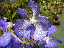 Orchidaceae - Wikipedia, the free encyclopedia