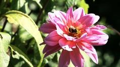 Bee fleur 2-55    :            L'abeille butine, la fleur s'épanouit...