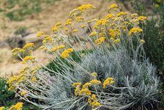 Immortelle à odeur de curry Helichrysum italicum serotinum