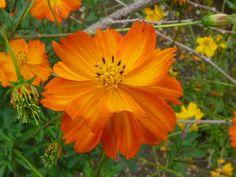 File:P1000595 Cosmos sulphureus (Yellow cosmos) (Compositae ... we have oranges and yellows