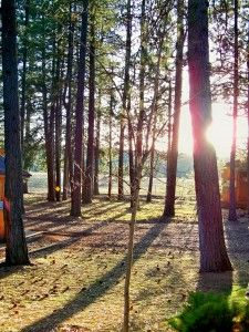 Ponderosa pine forest at sunset. A bite of light in the trees.