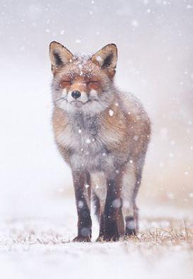 Snowy fox.