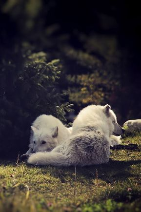 Desvre - sisterofthewolves: Picture by Bronwyn Arctic wolves (Canis...