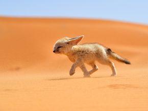 Fénec in desert - Morocco