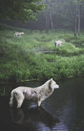 Wolves in Quebec.