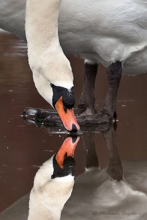 ** swan