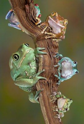 Varieties of tree frogs sitting together on a branch ~ waxy monkey tree frog, red-eyed tree frog big-eyed tree frog, white tree frog, gray tree frog by Cathy Keifer~~