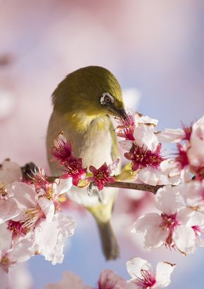 White-eye in the Blossoms