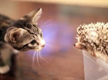 Funny Video: Kitty and Hedgehog Teach Us the Meaning of Friendship